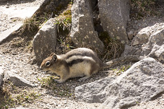 Jasper National Park, June 2017 (Julian Rossi) Tags: jaspernationalpark nationalpark callospermophiluslateralis goldenmantledgroundsquirrel wildlife