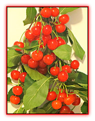 Sour Cherries (bigbrowneyez) Tags: cherries sourcherries fruit fresh delicious red bright leaves branches neighbor gift juicy luscious vibrant succulent nature natura tangy sour regalo onomastico redgreen frame cornice food edible hungry maricella pretty lovely beautiful special gorgeous