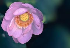 lotus sacré (cébé céline) Tags: aquatique lotussacré lotusdorient plante bouddhisme fleur rose fruit étamines étang éclosion flou dof miseaupointsélective été montréal