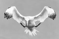 Gannet landing gear down,  black and white (douglasjarvis995) Tags: bird sea gannet wings flying feathers cliff bempton rspb landing canon sigma 50500mm bigma monochrome blackwhite blackandwhite bnw