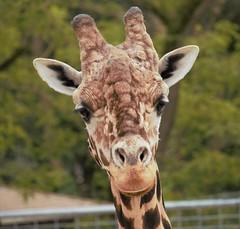 Zoo La Palmyre - Royan (Nath Hb) Tags: zoo girafe