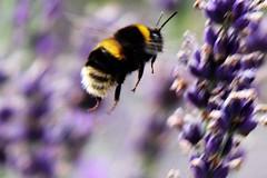 Garden Bumblebee 2 (cvtperson) Tags: garden bumblebee