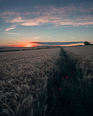 (Matthew Murray Photo) Tags: yellow trees landscape sunset nature blue clouds nikon green wheat pink crop pasture agriculture farm wide outdoors dusk local cereal samyang 16mm explore rokinon cropland graduated no person nikonphotography d5500 samyang16mmf20edasumccs