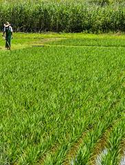 Japan Saitama Rice  Field (wazo3) Tags: japan saitama