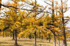 Wind in the Larch Trees - Chuluut Gorge 2369 (Ursula in Aus) Tags: mongolia wtf asia autumn larch trees chuluutrivergorge chuluutgorge