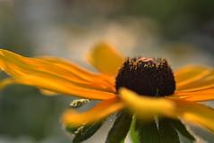 intrepid (joy.jordan) Tags: blackeyedsusan flower pollen texture bokeh nature summer backyard