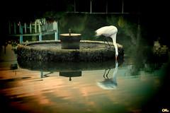 Connection (Otacílio Rodrigues) Tags: garça heron lago pond parque park reflexos reflections chafariz fountain água water natureza nature urban resende brasil oro ngc topf25 pássaro bird