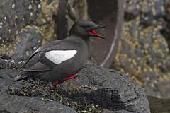 Black Guillemot (JaneTurner68) Tags: blackguillemot bird oban obanharbour scottishhighlands scotland canon1dmkiv canon100400mmmkiilens canon
