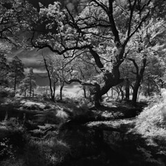 Spread o'er the silver (Skink74) Tags: 120 6x6 blackandwhite bronica england film filmdev:recipe=8005 hampshire highlandwater infrared infrared400 landscape newforest r72 rodinal rollei s2a s2am081 standdevelopment uk zenzabronicas2a zenzanonmc40mm14 ir bw mono tree stream forest wood heath summer light shadow oak