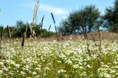 Полевые цветы (klgfinn) Tags: cloud field flower grass landscape sky summer tree wildflowers дерево лето небо облако озерки пейзаж поле полевыецветы трава цветок