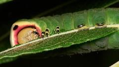 puss moth larva close-up (David_W_1971) Tags: mothsnotodontidae smog2017 raynox dcr250