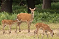 Red-Deer-Family-9870 (Kulama) Tags: reddeer deer animals nature wildlife woods bracken fern land calves summer canon7dmarkii sigma150600563c