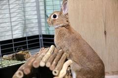 Ichigo san 788 (Ichigo Miyama) Tags: いちごさん。うさぎ ichigo san rabbitbunny netherlanddwarf brown ネザーランドドワーフ ペット いちご うさぎ rabbit