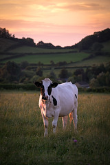 The Stand Off (Sarah_Brooks) Tags: cows bovine bovinophobia countryside fear cattle freisan blackandwhite goldenhour
