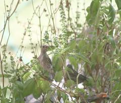 house finches in the basil (wmpe2000) Tags: 2017 birdshousefinch basil ocimumbasilicum lamiaceae mintfamily orderlamiales green garden