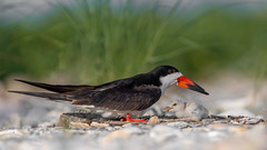 Black Skimmer adult with chick (nikunj.m.patel) Tags: blackskimmer skimmer chick seabird nature wildlife photography birds bird avian outdoor beach nesting summer migration parent cute animal baby