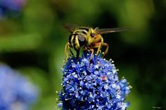 Kiareimages d'estate Bee (kiareimages1) Tags: bee summer ceanothusprostratus insects macro macroflowers macrophoto imagery images colors