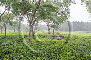 Women picks tea leafs on the tea garden