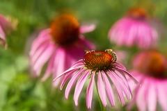 20170717-105253 (Ernst_P.) Tags: 105mm aut blume blüte botanischergarten f28 innsbruck macro österreich pflanze sigma tirol biene tier insekt bee abeille abeja ape inzing