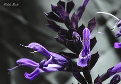 Flores Purpuras (NELIDA RICHI FOTOGRAFIA) Tags: flores flower fiori purpuras violetas violet jardin garden 1855mm canon eos 60d airelibre naturaleza nature natura fleurs