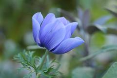 blue 2 (annapolis_rose) Tags: vancouver summer flower blueflower noedit