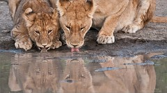 Thirsty Lions (Raymond J Barlow) Tags: lion africa wildlife nature phototour travel adventure raymondbarlow