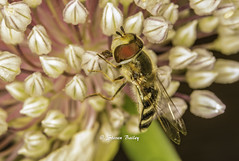 Scaeva Pyrastri hoverfly (stevenbailey7) Tags: macro hoverlly fly llanelli diptera syrphid insect nature closeup seedpods flower leek plant