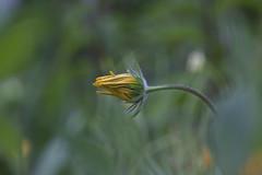 Summer Bloom (Echinacea) (milance1965) Tags: echinacea gelb yelow sonnenhut blume sommer summer macro flower canon 50d tamron