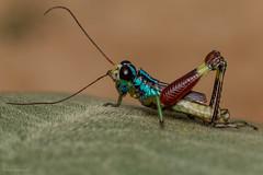 Taeniophora pirrensis (Mary Torres E.) Tags: saltamontes macro macrophoto canoneos70d sanmiguelito alejandría antioquia marytorres grasshopper grillo insecto taeniophorapirrensis
