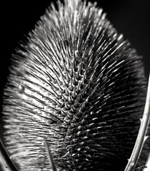 My take on Bull Thistle aka Cirsium vulgare (alexsissons) Tags: texture memberschoicetexture blackandwhite bw bullthistle flower beautiful sharp spike amateur canon canon1300d