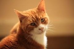 BOSCO (merseymouse) Tags: cats gingercats pets felines