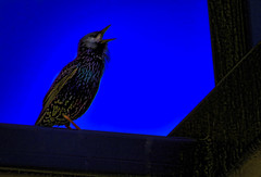 Starling's Twilight song (FotoGrazio) Tags: blackbird waynegrazio waynesgrazio animal art backlit bird birdcall blueandblack composition fineart fotograzio mothernature nature painterly phototoart phototopainting silhouette singing song starling wildlife