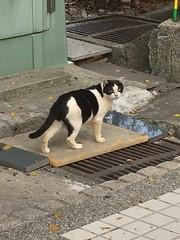 乳牛貓 (未來風景) Tags: 亮眼 喵 猫 貓 meow neko ねこ cat 고양이