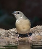 Gouldian Finch juvenile at Wyndham_3923 (Jen Crowley Photography) Tags: gouldian bird finch gouldianfinch juvenile wyndham wa westernaustralia australia nikon gouldiae