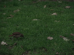 (NicoleAndreaBarros) Tags: pajaro bird green pasto verde hojas leaves