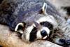 Waschbär - Raccoon (vampire-carmen) Tags: waschbär raccoon tier animal closeup portrait augen eyes ojos raubtier predator tierpark zoo lohberg cham oberpfalz bayern bavaria deutschland germany alemania europe hdr canoneos600d 狸 vaskebjørn hayopngrekun pesukarhu ratonlaveur ρακούν ઉત્તરઅમેરિકાનુંગુચ્છાદારપૂંછડીવાળું רָקוּן एकप्रकारकाजानवर akukonta racún procione ラクーン rakun שאַפּ ರಕೂನ್ 미국너구리 jenots meškėnas rubio അമേരിക്കന്കരടി элбэнх र्याकुन wasbeer szop guaxinim енот tvättbjörn ракун mýval mapache gấutrúc ரக்கூன் র্যাকুন ရက်ကွန်းဝံ حيوانالراكون ջրարջ สัตว์คล้ายหมีเล็ก миещамечка रॅकून راکون ጥቁርብጫጠጉርያለዉትንሽአዉሬ yenot pesukaru mab жанат ósrentador birra gornebaş dabacaddeeye mosómedve