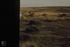 Mynydd Eglwysilan. Nibbled Ulex gallii. 1972 (Mary Gillham Archive Project) Tags: 1972 mynyddeglwysilan planttree st0990 ulexgallii wales westerngorse 7510