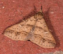 Discolored Renia Moth (drkilmer) Tags: myersville maryland unitedstates us