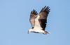 White Bellied Sea Eagle (Peta Jade) Tags: magentashoresweekend bird centralcoast colourimage photography whitebelliedseaeagle norahhead