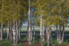 Aspens at Mormon Row Historic District (Grand Teton National Park) (Kᵉⁿ Lᵃⁿᵉ (Instagram: @CarShowShooter)) Tags: geo:lat=4366602452 geo:lon=11066461667 geotagged grovont moose unitedstates usa antelopeflatsroad aspengrove aspentree aspens grandtetonmountainrange grandtetonnationalpark grandtetons grass homestead httpsenwikipediaorgwikigrandtetonnationalpark johnmoutlon landscape leaves mormonrow mormonrowhistoricdistrict mormonrowroad moulton mountain mountains nationalpark nationalparkservice np nps sky southcentralrockies tetoncounty touristattraction travelphotography tree treebark trees usnationalpark usnationalparkservice unitedstatesnationalpark wy wyoming