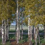 Aspens at Mormon Row Historic District (Grand Teton National Park) thumbnail