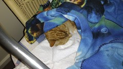 Mercedes feeling sorry for herself. (~ MCJ) Tags: mercedes cat gingerandwhite 9yo cutbackleftfoot