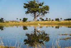 A Pond of Water Creates a Mirror in the Okavango Delta. (hpfkPhoto) Tags: bird reflection mirror reflections mirrors tree water savanna savannah botswana okavango delta crane egret beauty africa african safari nature