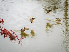Couple,s only. (Omygodtom) Tags: outdoors river bird mallard ducks classic history digital contrast composition texture stars wild wildlife nikkor natural nature nikon d7100 dof detail nikon70300mmvrlens