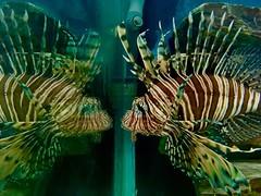 Hello handsome (flowergirlaaa) Tags: fauna 7dwf mirrorimage tank aquarium reflection lionfish pterois firefish turkeyfish butterflycod volitans predator fish aquatic