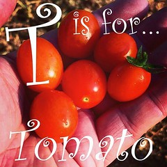 Garden Alphabet #89: T Is For…Tomato See more on A Gardener's Notebook at DouglasEWelch.com #tomato #food #garden #fruit #nature #plants (dewelch) Tags: ifttt instagram garden alphabet 89 t is for…tomato see more a gardeners notebook douglasewelchcom tomato food fruit nature plants