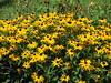 Black Eyed Susans (AmyWoodward) Tags: blackeyedsusan rudbeckia fantasticflower