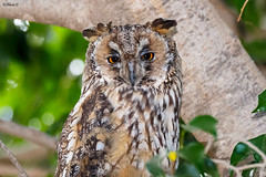 Long-eared Owl (Dave 5533) Tags: longearedowl owld birds wild bird canoneos1dx sigma150600mmf563dgoshsm|s wildlife naturephotography outdoor animal birdofprey coth
