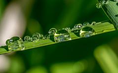 Macro Rain Drops. (Omygodtom) Tags: green abstract art natural nikkor nikon dof d7100 digital f28 tamron90mm texture tamron raindrop waterdrops grass