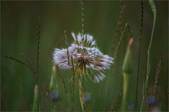 9606-  Grasses in the Early Morning Light (canuckguyinadarkroom) Tags: grasses morning nature beauty softness